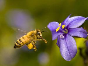 Африканізірованна бджола