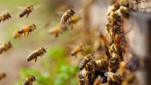 Скільки бджіл в одному вулику?