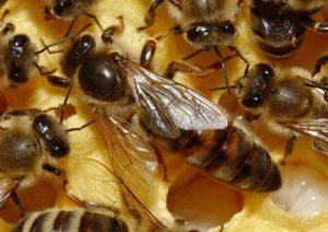 Порода бджіл Тройзек