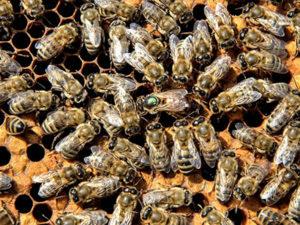 бджоли кавказької породи