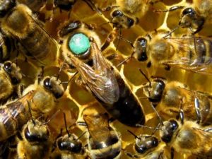 Порода бджіл Пешец