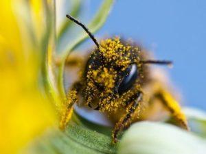 Скільки днів живе робоча бджола. Біологія бджоли