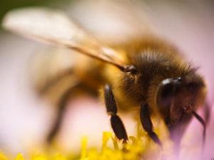 Українська степова порода бджіл фото