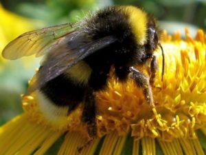 Джмелиний мед: склад продукту. Як тримати джмелів?