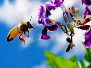 робоча бджола збирає нектар