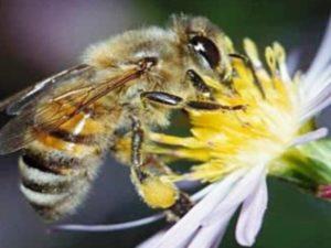 Далекосхідна бджола: характеристики