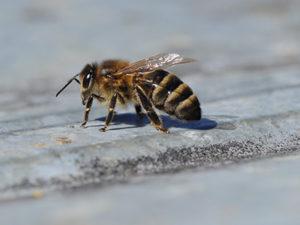 сіра гірська кавказька бджола