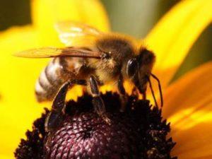 Будова модоносної бджоли. Біологія і анатомія бджоли