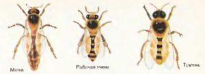 бджолина матка бакфаст