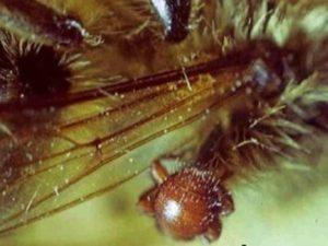 Браульоз бджіл (бджолині воші)