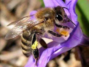 Приокська бджола - селекційний вид