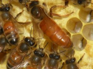 Партеногенез у бджіл: причини та лікування