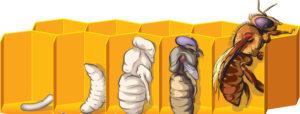 розвиток робочої бджоли