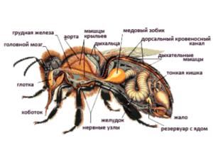 Будова травної системи бджіл
