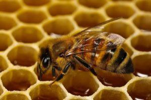 """обов""""язки робочої бджоли"""