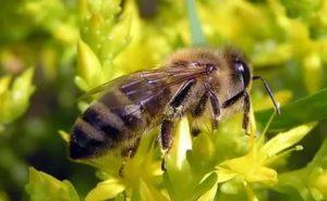 Середньоросійська бджола