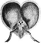 очі у бджоли