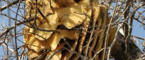 гніздо бджоли-вбивці