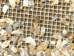 Аскосфероз хвороба бджіл