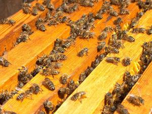 Порода бджіл бакфаст