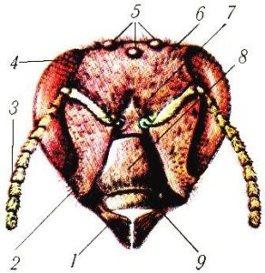 Будова голови бджоли