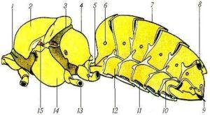 Будова грудного відділу і черевця