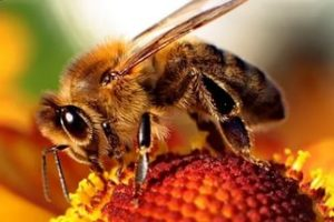 Скільки очей у бджоли - 2 складних і 3 простих