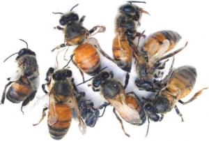 Вірусний параліч бджіл: ознаки, лікування, профілактика