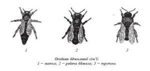 бджолина матка розвиток