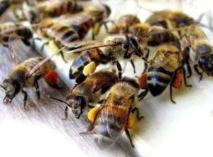 Далекосхідна бджола