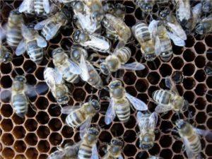 Приокська порода бджіл