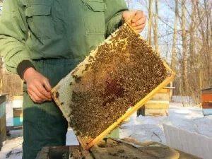 Порода бджіл країнка характеристики