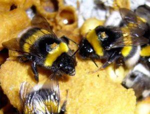 Як тримати джмелів для меду?