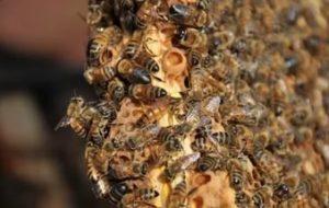 медоносні бджоли
