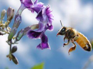Як бджоли збирають мед? Як бджоли збирають нектар?