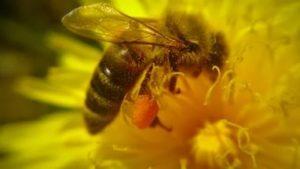 бджола на кульбабі