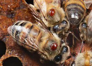 Лікування варроатозу бджіл