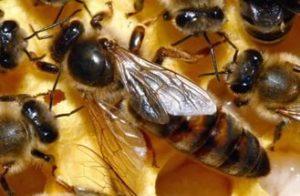 бджолина матка