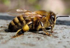 бджола середньоросійська