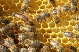 матка середньоросійської бджоли