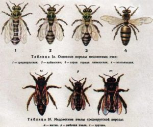 популяції бджіл