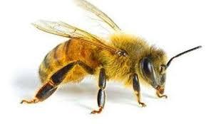 Скільки живуть бджоли: матка, трутень, бджола робоча
