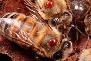 варроатоз бджіл фото