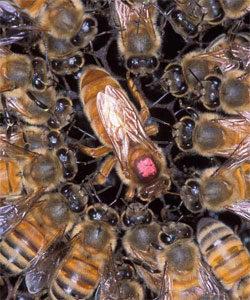 бджолині матки