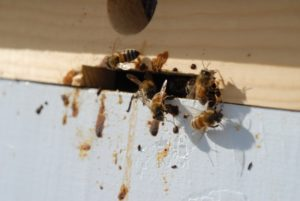 Хвороба бджіл нозематоз фото