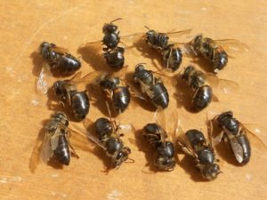 Вірусний параліч бджіл