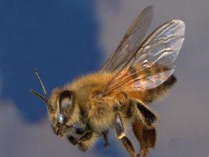 бджоли-вбивці