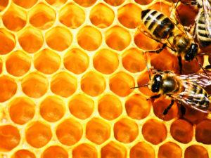 стільники бджіл