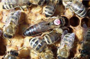 Бджола карніка