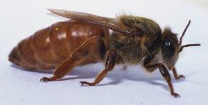 бджолина матка фото